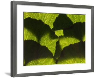 An Arrangement of Ginkgo Leaves, Ginkgo Biloba-Darlyne A^ Murawski-Framed Photographic Print