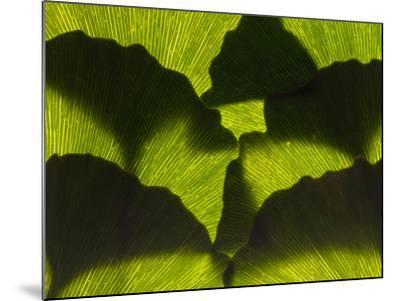 An Arrangement of Ginkgo Leaves, Ginkgo Biloba-Darlyne A^ Murawski-Mounted Photographic Print