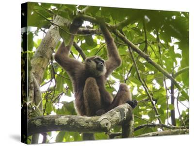 Bornean White-Bearded Gibbon, Hylobates Albibarbis, Resting in a Tree-Tim Laman-Stretched Canvas Print