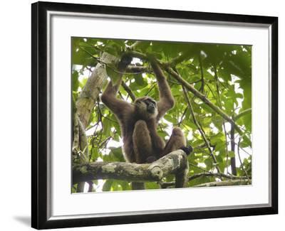 Bornean White-Bearded Gibbon, Hylobates Albibarbis, Resting in a Tree-Tim Laman-Framed Photographic Print