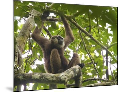 Bornean White-Bearded Gibbon, Hylobates Albibarbis, Resting in a Tree-Tim Laman-Mounted Photographic Print