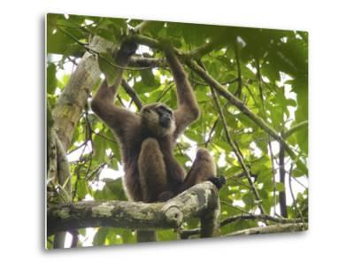 Bornean White-Bearded Gibbon, Hylobates Albibarbis, Resting in a Tree-Tim Laman-Metal Print