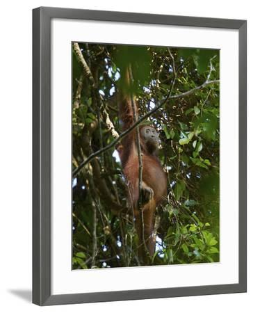 A Female Bornean Orangutan in the Rain Forest Canopy-Tim Laman-Framed Photographic Print