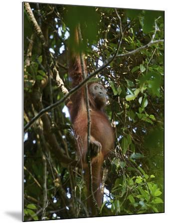 A Female Bornean Orangutan in the Rain Forest Canopy-Tim Laman-Mounted Photographic Print