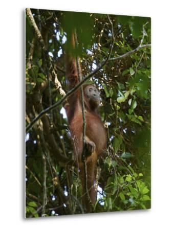 A Female Bornean Orangutan in the Rain Forest Canopy-Tim Laman-Metal Print