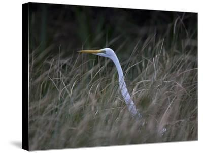 An Egret in the Marsh of the Loxahatchee River-Michael Melford-Stretched Canvas Print