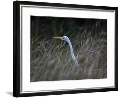 An Egret in the Marsh of the Loxahatchee River-Michael Melford-Framed Photographic Print