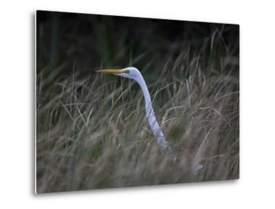 An Egret in the Marsh of the Loxahatchee River-Michael Melford-Metal Print