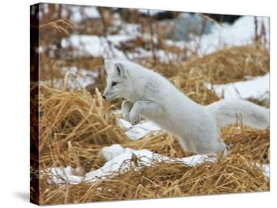 An Arctic Fox, Vulpes Lagopus, Hunting in Brown Grasses-Bob Smith-Stretched Canvas Print