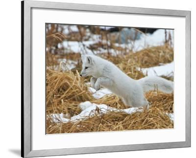 An Arctic Fox, Vulpes Lagopus, Hunting in Brown Grasses-Bob Smith-Framed Photographic Print