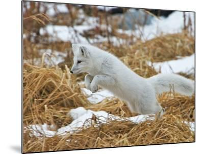 An Arctic Fox, Vulpes Lagopus, Hunting in Brown Grasses-Bob Smith-Mounted Photographic Print
