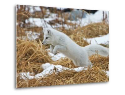 An Arctic Fox, Vulpes Lagopus, Hunting in Brown Grasses-Bob Smith-Metal Print