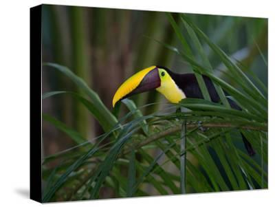 Portrait of a Chestnut-Mandibled Toucan, Ramphastos Swainsonii-Roy Toft-Stretched Canvas Print