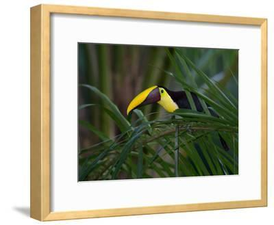 Portrait of a Chestnut-Mandibled Toucan, Ramphastos Swainsonii-Roy Toft-Framed Photographic Print