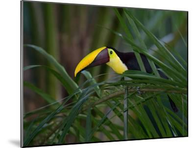 Portrait of a Chestnut-Mandibled Toucan, Ramphastos Swainsonii-Roy Toft-Mounted Photographic Print