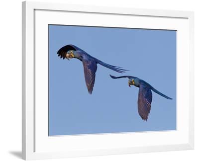 Hyacinth Macaws, Anodorhynchus Hyacinthinus, in Flight-Roy Toft-Framed Photographic Print