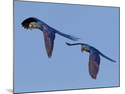 Hyacinth Macaws, Anodorhynchus Hyacinthinus, in Flight-Roy Toft-Mounted Photographic Print