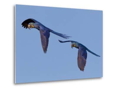 Hyacinth Macaws, Anodorhynchus Hyacinthinus, in Flight-Roy Toft-Metal Print