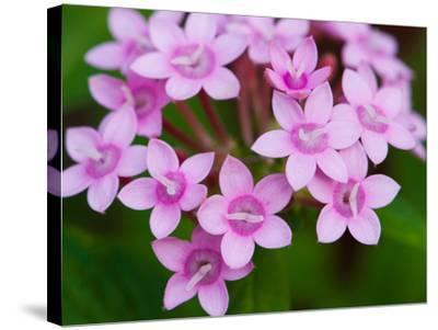 Close Up of a Flowering Egyptian Star Flower, Pentas Lanceolata-Darlyne A^ Murawski-Stretched Canvas Print