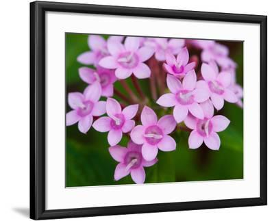 Close Up of a Flowering Egyptian Star Flower, Pentas Lanceolata-Darlyne A^ Murawski-Framed Photographic Print