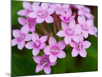 Close Up of a Flowering Egyptian Star Flower, Pentas Lanceolata-Darlyne A^ Murawski-Mounted Photographic Print