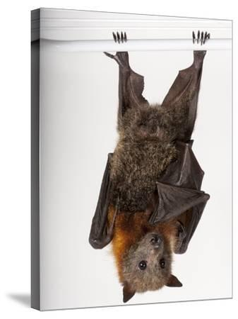 A Vulnerable Grey-Headed Flying Fox, Pteropus Poliocephalus-Joel Sartore-Stretched Canvas Print