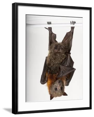 A Vulnerable Grey-Headed Flying Fox, Pteropus Poliocephalus-Joel Sartore-Framed Photographic Print