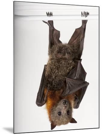 A Vulnerable Grey-Headed Flying Fox, Pteropus Poliocephalus-Joel Sartore-Mounted Photographic Print