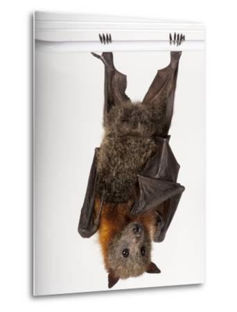 A Vulnerable Grey-Headed Flying Fox, Pteropus Poliocephalus-Joel Sartore-Metal Print