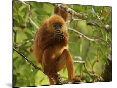 Female Red Leaf Monkey, Presbytis Rubicunda, Eating a Strangler Fig-Tim Laman-Mounted Photographic Print