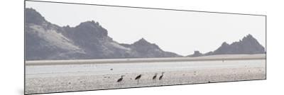 Shorebirds at Detwah Lagoon-Michael Melford-Mounted Photographic Print