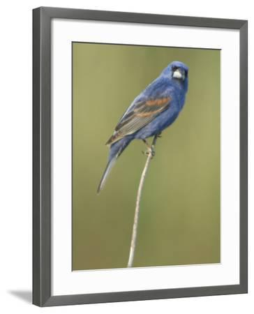 Male Blue Grosbeak, Guiraca Caerulea, in Breeding Plumage-Paul Sutherland-Framed Photographic Print