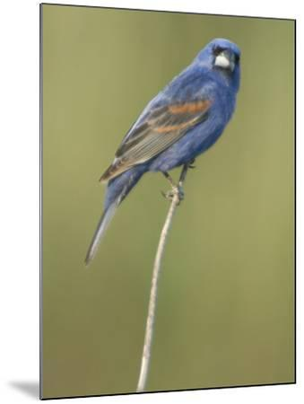 Male Blue Grosbeak, Guiraca Caerulea, in Breeding Plumage-Paul Sutherland-Mounted Photographic Print
