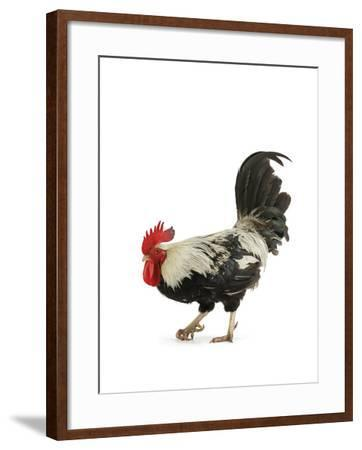 A Silver Gray Dorling, a Rare Breed of Chicken from Tatton Park Farm-Jim Richardson-Framed Photographic Print
