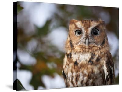 A Captive Eastern Screech Owl, Megascops Asio, at Ryerson Woods-Joel Sartore-Stretched Canvas Print
