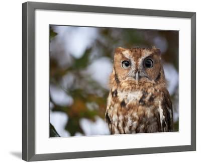 A Captive Eastern Screech Owl, Megascops Asio, at Ryerson Woods-Joel Sartore-Framed Photographic Print
