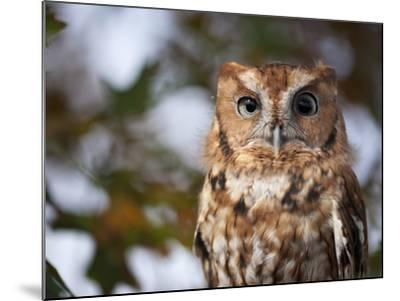 A Captive Eastern Screech Owl, Megascops Asio, at Ryerson Woods-Joel Sartore-Mounted Photographic Print