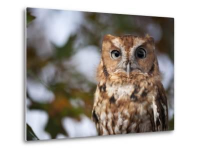 A Captive Eastern Screech Owl, Megascops Asio, at Ryerson Woods-Joel Sartore-Metal Print