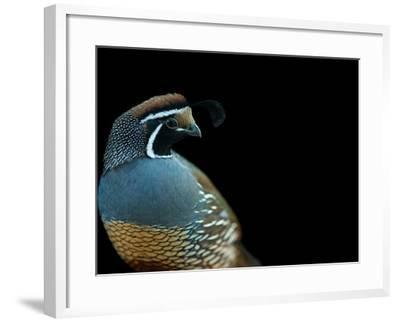 A California Quail, Callipepla Californica-Joel Sartore-Framed Photographic Print