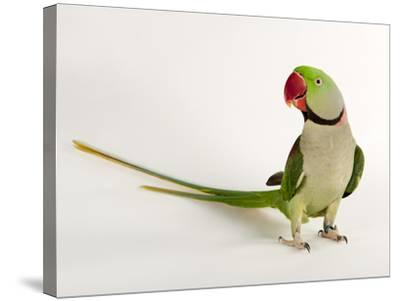 Alexandrine Parakeet, Psittacula Eupatria-Joel Sartore-Stretched Canvas Print