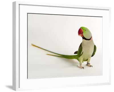 Alexandrine Parakeet, Psittacula Eupatria-Joel Sartore-Framed Photographic Print