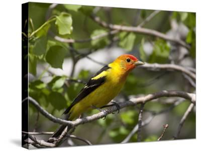 Portrait of a Western Tanager, Piranga Ludoviciana-Greg Winston-Stretched Canvas Print