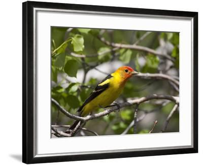 Portrait of a Western Tanager, Piranga Ludoviciana-Greg Winston-Framed Photographic Print
