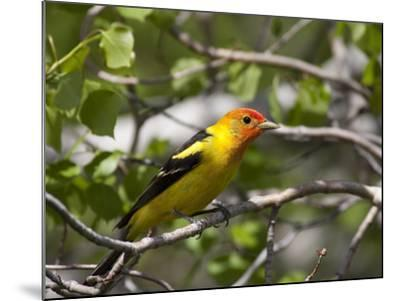 Portrait of a Western Tanager, Piranga Ludoviciana-Greg Winston-Mounted Photographic Print
