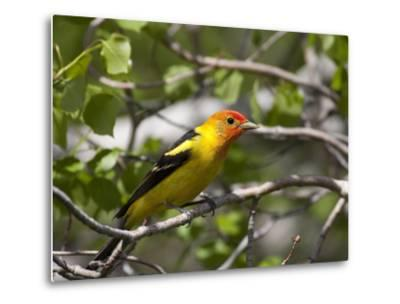 Portrait of a Western Tanager, Piranga Ludoviciana-Greg Winston-Metal Print