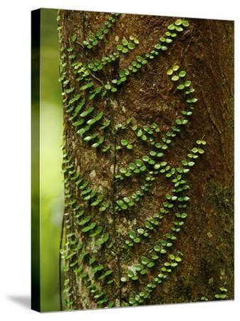 Climbing Vine on the Trunk of a Rain Forest Tree-Tim Laman-Stretched Canvas Print