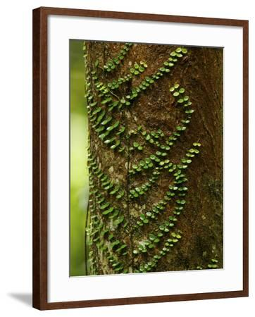 Climbing Vine on the Trunk of a Rain Forest Tree-Tim Laman-Framed Photographic Print