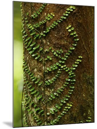 Climbing Vine on the Trunk of a Rain Forest Tree-Tim Laman-Mounted Photographic Print