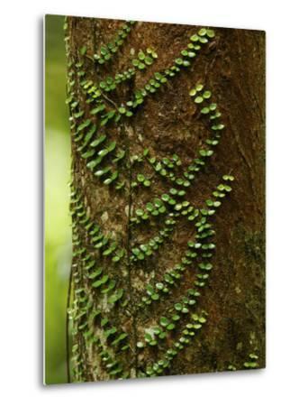 Climbing Vine on the Trunk of a Rain Forest Tree-Tim Laman-Metal Print