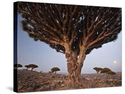 The Diksam Plateau, Where Dragon's Blood Trees Grow in Scattered Groves-Michael Melford-Stretched Canvas Print